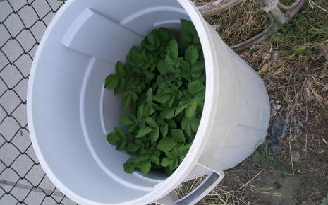 Growing Potatoes in a Garbage Can (4th and 5th grade)