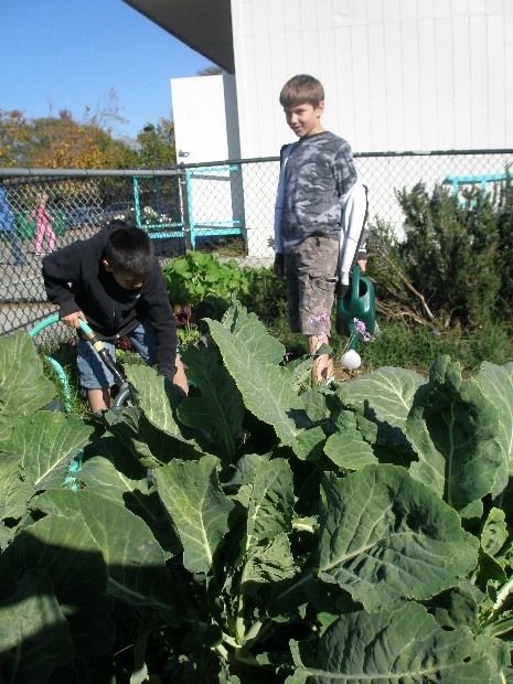 Annual Collards